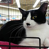 Domestic Shorthair Cat for adoption in Statesville, North Carolina - Lady