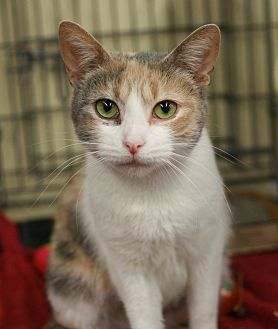 Domestic Shorthair Cat for adoption in Cumberland and Baltimore, Maryland - Rockette