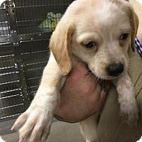 Adopt A Pet :: Marigold - Mahopac, NY