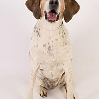 Coonhound Dog for adoption in Scottsdale, Arizona - Pebbles