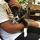 Adopt A Pet :: Rousie