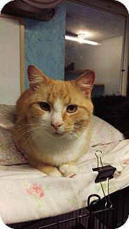 Domestic Shorthair Cat for adoption in Brainardsville, New York - Nudge