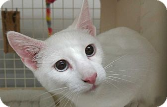 Domestic Shorthair Kitten for adoption in Dallas, Texas - Snowdrop