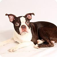 Adopt A Pet :: Mickey Boston - St. Louis, MO