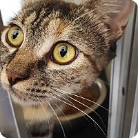 Domestic Shorthair Cat for adoption in Yucaipa, California - Zsa Zsa