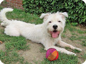 Pit Bull Terrier/Maltese Mix Dog for adoption in Boston, Massachusetts - KING