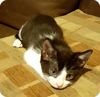 American Shorthair Kitten for adoption in Houston, Texas - Larry