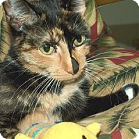 Domestic Shorthair Cat for adoption in Waupaca, Wisconsin - Jigsaw