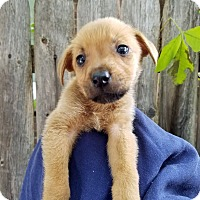 Shepherd (Unknown Type)/Terrier (Unknown Type, Medium) Mix Puppy for adoption in Detroit, Michigan - Cameron - Coming Soon