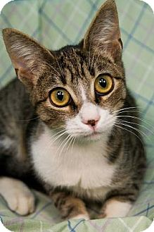 Domestic Shorthair Cat for adoption in New Orleans, Louisiana - Maggiore