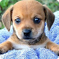 Adopt A Pet :: WIGGLES(ADORABLE
