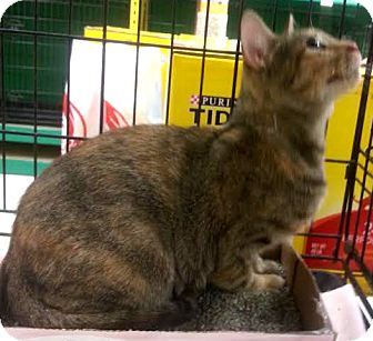 American Bobtail Cat for adoption in Dallas, Texas - Autumn