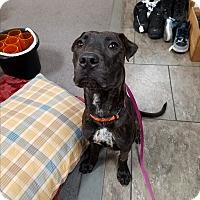 Adopt A Pet :: Rhawdz - Las Vegas, NV