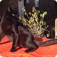 Domestic Shorthair Cat for adoption in Pulaski, Tennessee - Sheba