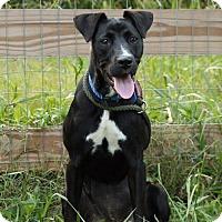 Labrador Retriever Mix Dog for adoption in Franklin, Tennessee - JOAN JETT