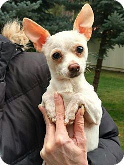 Chihuahua Dog for adoption in Thompson Falls, Montana - Curly