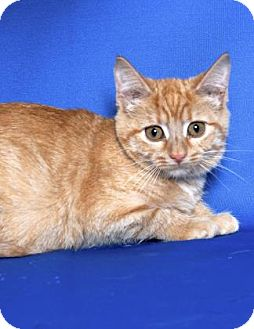 Domestic Shorthair Kitten for adoption in Gloucester, Virginia - CATWOMAN