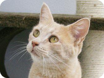 Domestic Shorthair Cat for adoption in Republic, Washington - Harrah VALENTINE'S SPECIAL! 50