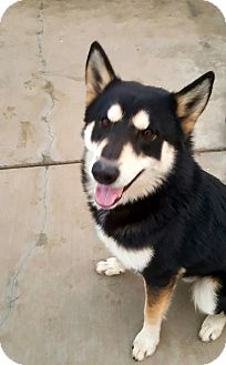 Siberian Husky/Alaskan Malamute Mix Dog for adoption in Apple valley, California - Parker