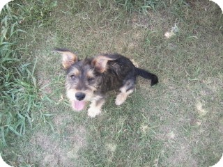 Schnauzer (Standard)/Terrier (Unknown Type, Medium) Mix Puppy for adoption in Gadsden, Alabama - Sasha