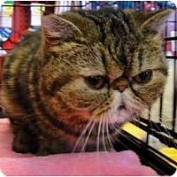Adopt A Pet :: Bug - Beverly Hills, CA