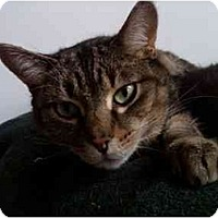 Adopt A Pet :: Cougar - Erie, PA