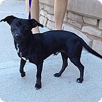 Adopt A Pet :: Poncho - Phoenix, AZ