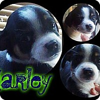 Adopt A Pet :: Harley - Alamosa, CO