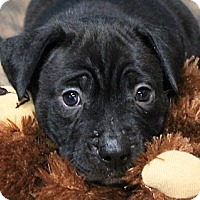 Adopt A Pet :: Thunder - North Olmsted, OH