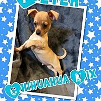 Adopt A Pet :: Petey - Rancho Cucamonga, CA