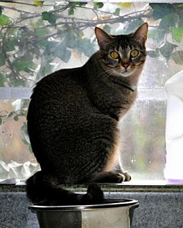 Domestic Shorthair Cat for adoption in Siler City, North Carolina - Sheena