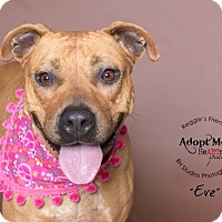 Boxer/American Staffordshire Terrier Mix Dog for adoption in Oklahoma City, Oklahoma - Eve