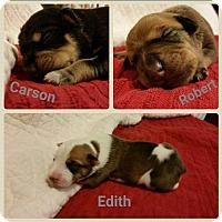 Adopt A Pet :: Robert - Nashville, TN