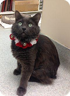 Domestic Mediumhair Cat for adoption in Newport Beach, California - Devin