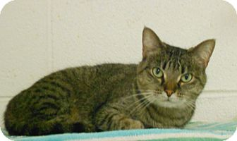 Hemingway/Polydactyl Cat for adoption in Huntsville, Alabama - Misty, a Polydactyl cat