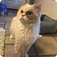 Adopt A Pet :: Missy - DFW Metroplex, TX