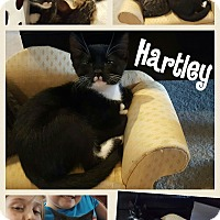 Adopt A Pet :: Hartley - Arlington/Ft Worth, TX