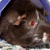Adopt A Pet :: Choco - Wichita, KS