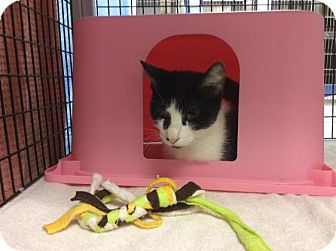 Domestic Shorthair Cat for adoption in Janesville, Wisconsin - Temple