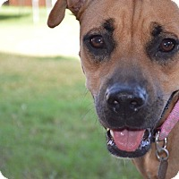 Boxer/Black Mouth Cur Mix Dog for adoption in Aubrey, Texas - Joan