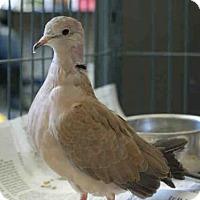 Dove for adoption in Pittsburgh, Pennsylvania - DAPHNE DOVELIN