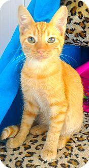 Domestic Shorthair Kitten for adoption in Akron, Ohio - Baby Katashian Kittens- Lord Discek
