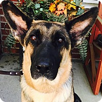 German Shepherd Dog Mix Dog for adoption in Walnut Creek, California - Malibu