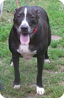 Labrador Retriever Mix Dog for adoption in Voorhees, New Jersey - Depot