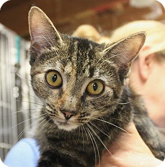 Domestic Shorthair Cat for adoption in Middletown, Connecticut - Lil Bit