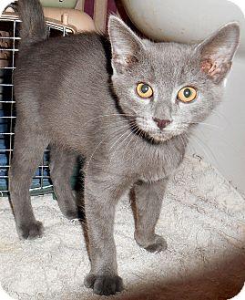 Chattanooga, TN - Russian Blue. Meet Ashby a Kitten for ...