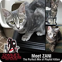 American Shorthair Kitten for adoption in Spring City, Pennsylvania - Zani