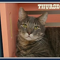 Domestic Shorthair Cat for adoption in Island Heights, New Jersey - Thursday