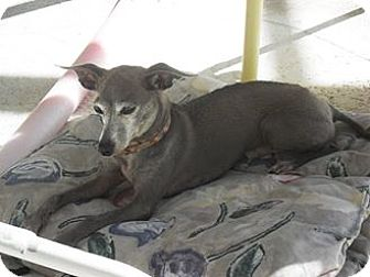 Italian Greyhound Dog for adoption in Englewood, Florida - Rosco