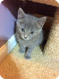 Domestic Mediumhair Kitten for adoption in Mooresville, North Carolina - A..  Roxy
